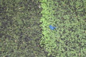 Phân biệt cỏ nhân tạo chất lượng và kém chất lượng